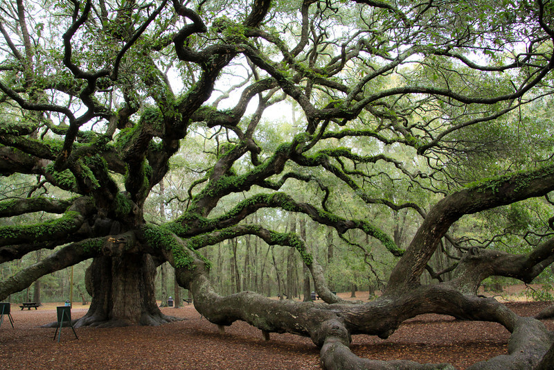 Charleston Daily Photo: Angel Oak Tree - Johns Island